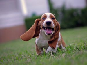 Franco the Bassett Hound